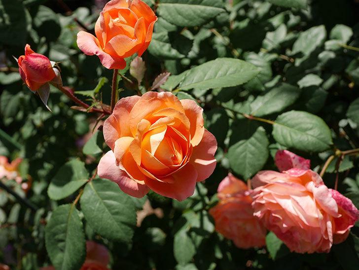 レディ・エマ・ハミルトン(木立バラ)の花がまた増えて来た。2019年-23.jpg