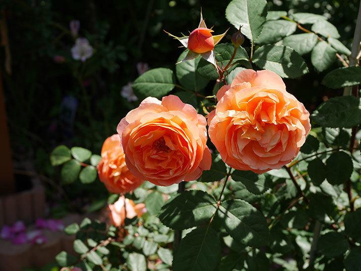 レディ・エマ・ハミルトン(木立バラ)の花がまた増えて来た。2019年-24.jpg