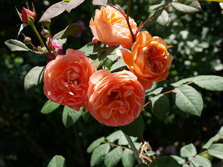 レディ・エマ・ハミルトン(木立バラ)の花がまた増えて来た。2019年-25.jpg