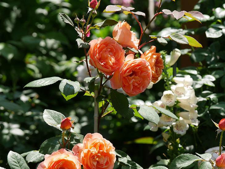 レディ・エマ・ハミルトン(木立バラ)の花がまた増えて来た。2019年-3.jpg
