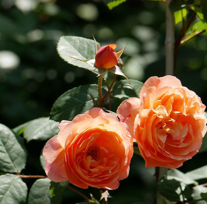レディ・エマ・ハミルトン(木立バラ)の花がまた増えて来た。2019年-4.jpg