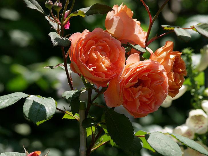 レディ・エマ・ハミルトン(木立バラ)の花がまた増えて来た。2019年-5.jpg
