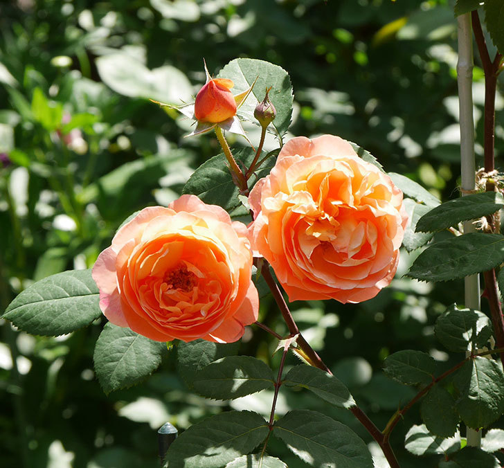レディ・エマ・ハミルトン(木立バラ)の花がまた増えて来た。2019年-6.jpg