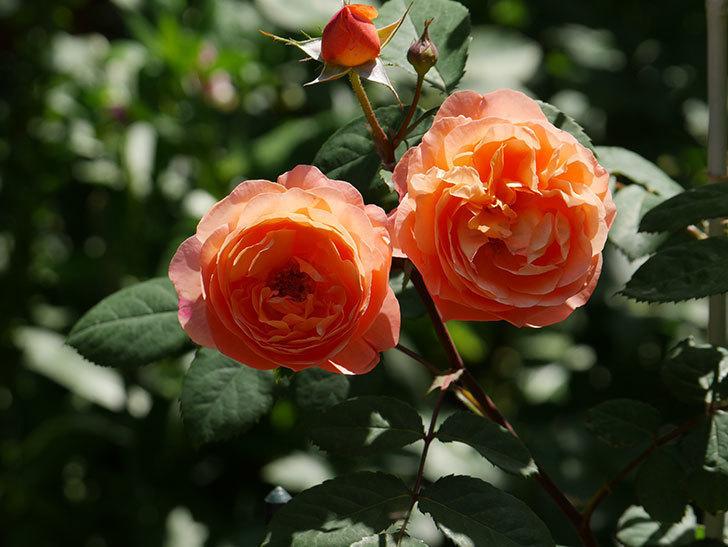 レディ・エマ・ハミルトン(木立バラ)の花がまた増えて来た。2019年-7.jpg