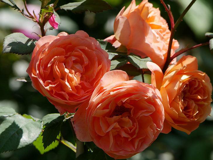 レディ・エマ・ハミルトン(木立バラ)の花がまた増えて来た。2019年-8.jpg
