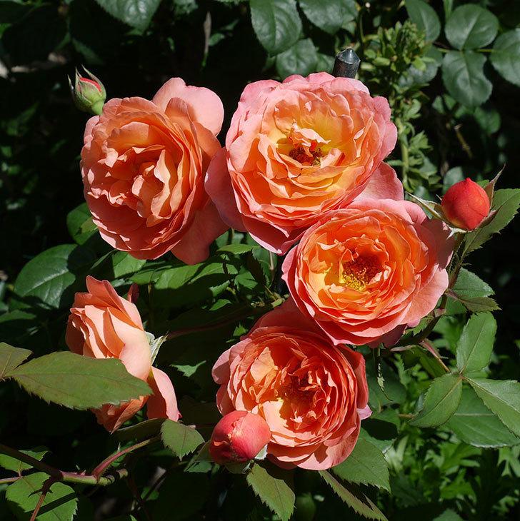 レディ・エマ・ハミルトン(木立バラ)の花が今日もたくさん咲いた。2017年-1.jpg
