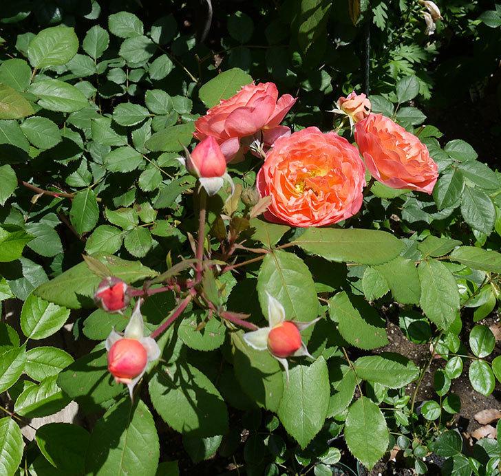レディ・エマ・ハミルトン(木立バラ)の花が今日もたくさん咲いた。2017年-10.jpg