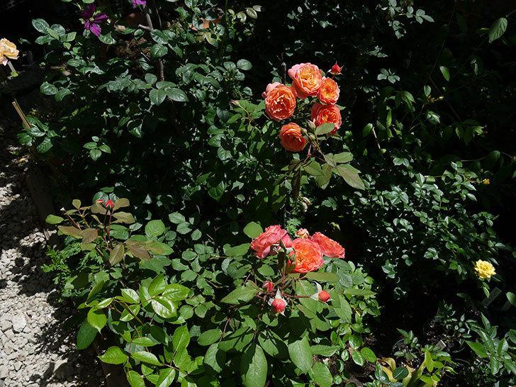 レディ・エマ・ハミルトン(木立バラ)の花が今日もたくさん咲いた。2017年-11.jpg