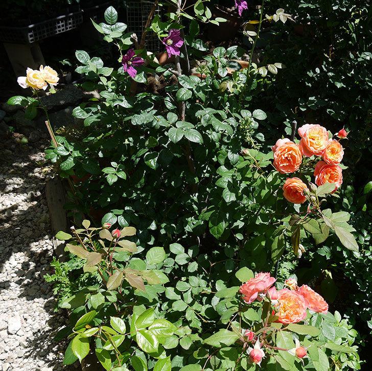 レディ・エマ・ハミルトン(木立バラ)の花が今日もたくさん咲いた。2017年-12.jpg