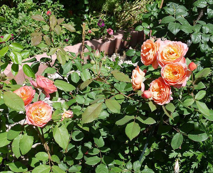 レディ・エマ・ハミルトン(木立バラ)の花が今日もたくさん咲いた。2017年-2.jpg