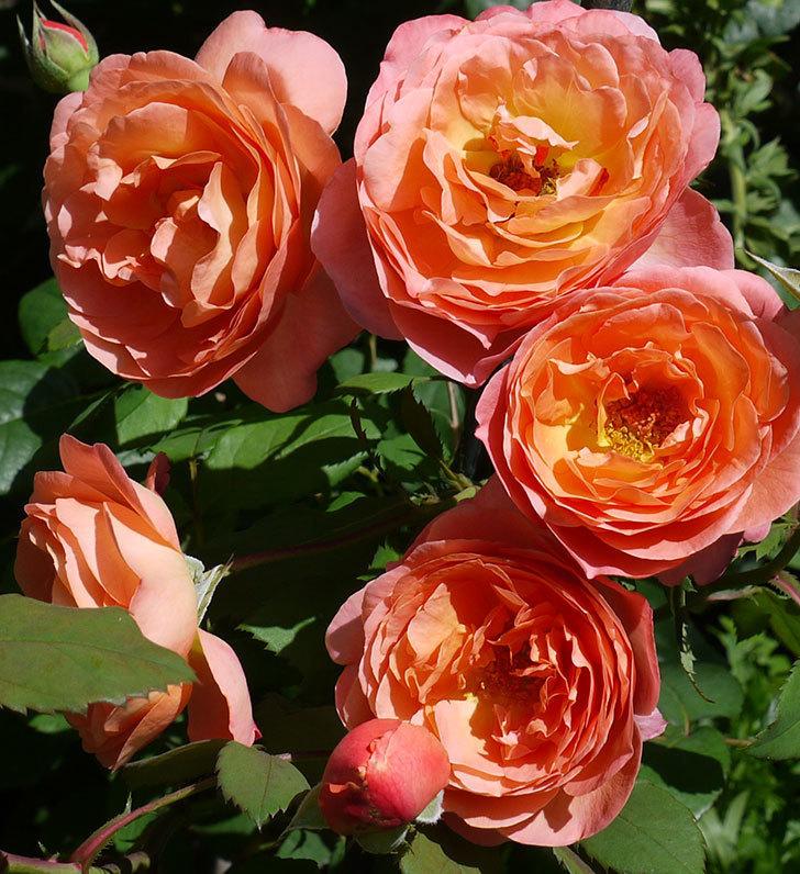 レディ・エマ・ハミルトン(木立バラ)の花が今日もたくさん咲いた。2017年-3.jpg