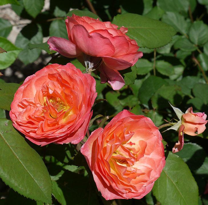 レディ・エマ・ハミルトン(木立バラ)の花が今日もたくさん咲いた。2017年-5.jpg