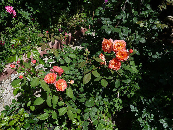 レディ・エマ・ハミルトン(木立バラ)の花が今日もたくさん咲いた。2017年-7.jpg