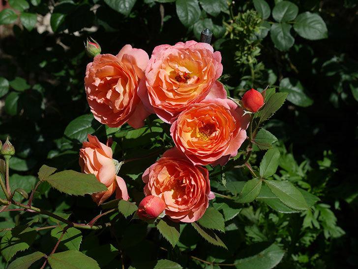 レディ・エマ・ハミルトン(木立バラ)の花が今日もたくさん咲いた。2017年-8.jpg