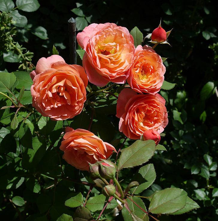 レディ・エマ・ハミルトン(木立バラ)の花が今日もたくさん咲いた。2017年-9.jpg