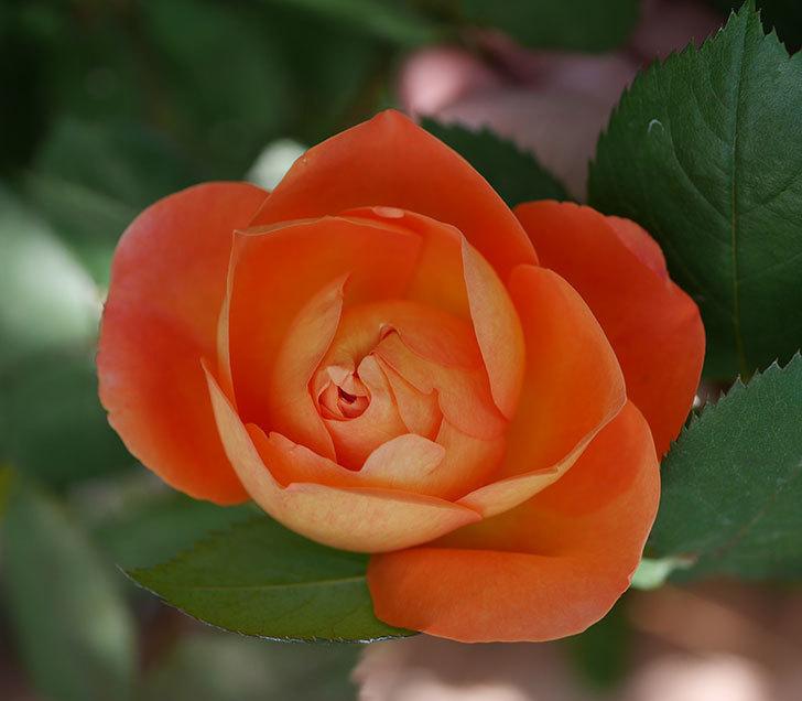 レディ・エマ・ハミルトン(木立バラ)の花が咲いた。2018年-2.jpg
