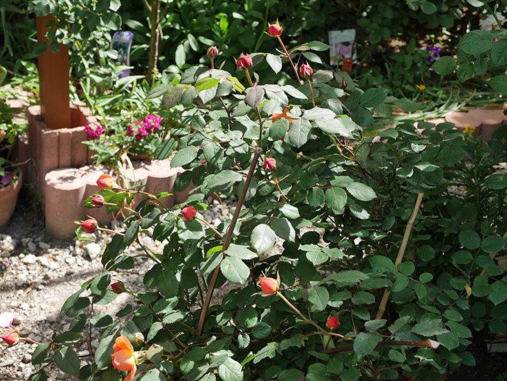 レディ・エマ・ハミルトン(木立バラ)の花が咲いた。2018年-3.jpg