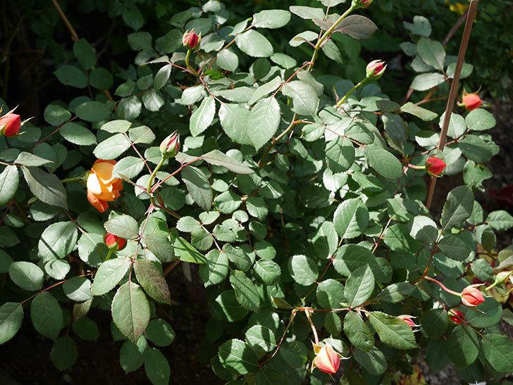 レディ・エマ・ハミルトン(木立バラ)の花が咲いた。2018年-4.jpg