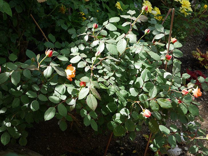 レディ・エマ・ハミルトン(木立バラ)の花が咲いた。2018年-5.jpg