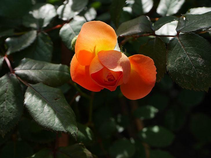 レディ・エマ・ハミルトン(木立バラ)の花が咲いた。2018年-6.jpg