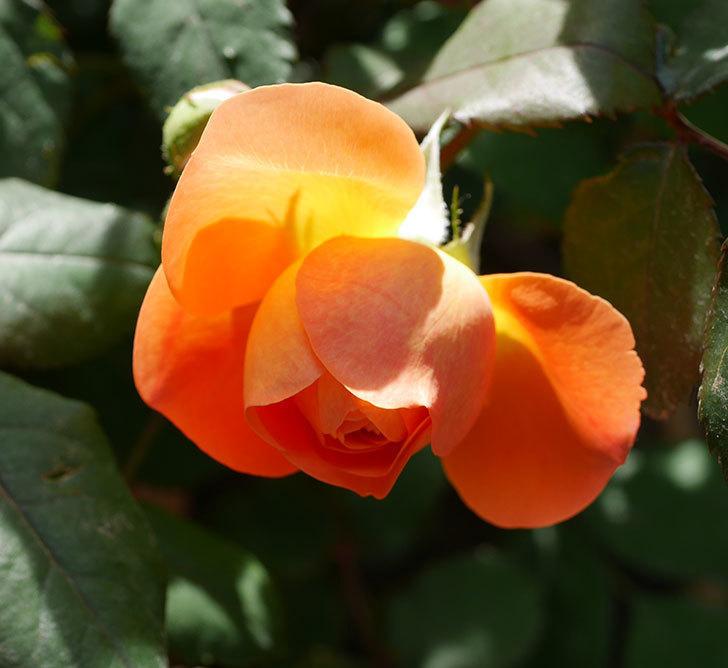 レディ・エマ・ハミルトン(木立バラ)の花が咲いた。2018年-7.jpg