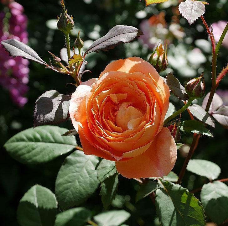 レディ・エマ・ハミルトン(木立バラ)の花が咲いた。2019年-1.jpg