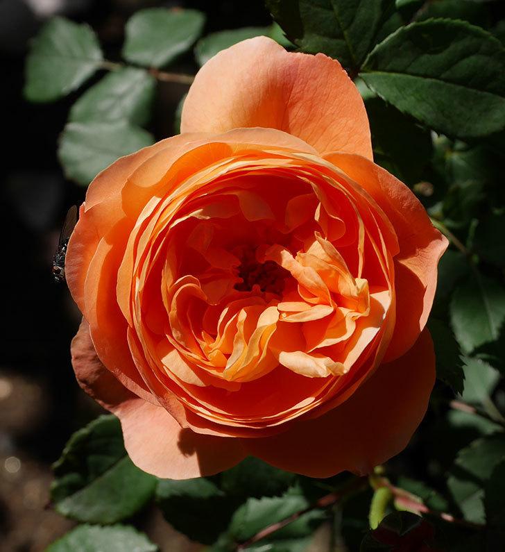 レディ・エマ・ハミルトン(木立バラ)の花が咲いた。2019年-10.jpg