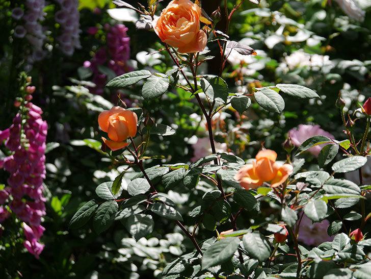レディ・エマ・ハミルトン(木立バラ)の花が咲いた。2019年-12.jpg
