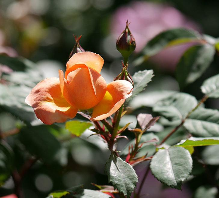 レディ・エマ・ハミルトン(木立バラ)の花が咲いた。2019年-13.jpg