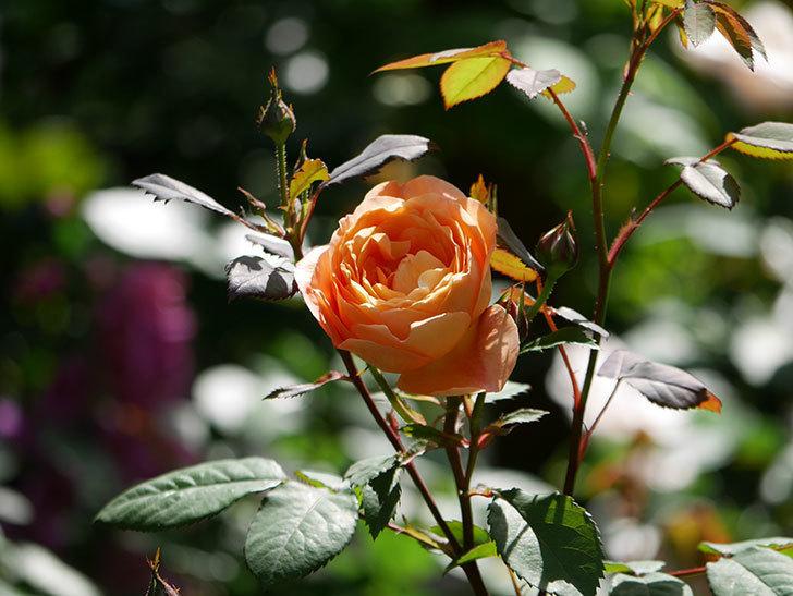 レディ・エマ・ハミルトン(木立バラ)の花が咲いた。2019年-14.jpg