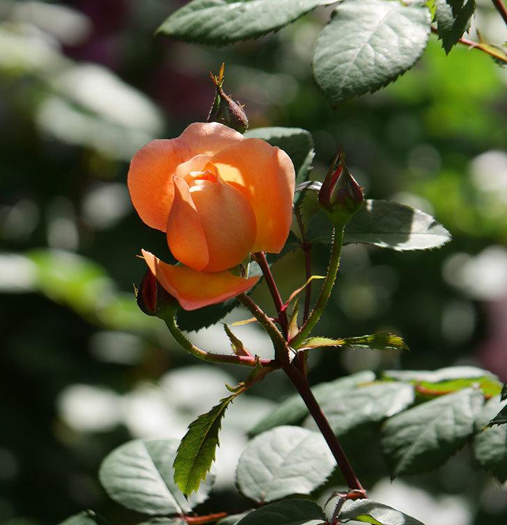 レディ・エマ・ハミルトン(木立バラ)の花が咲いた。2019年-15.jpg