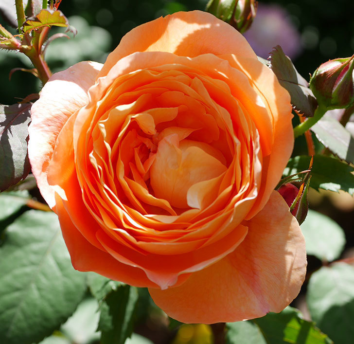 レディ・エマ・ハミルトン(木立バラ)の花が咲いた。2019年-2.jpg