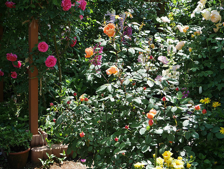 レディ・エマ・ハミルトン(木立バラ)の花が咲いた。2019年-3.jpg