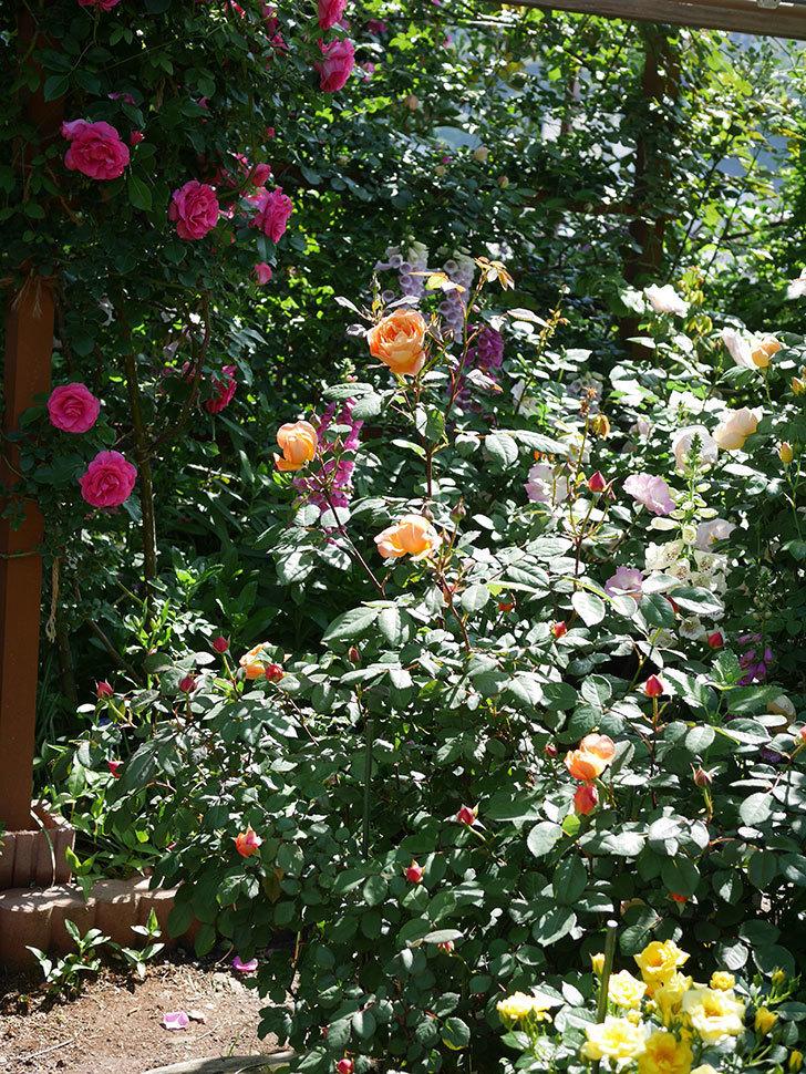 レディ・エマ・ハミルトン(木立バラ)の花が咲いた。2019年-4.jpg
