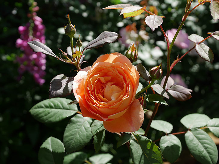 レディ・エマ・ハミルトン(木立バラ)の花が咲いた。2019年-7.jpg