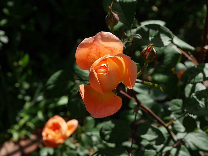レディ・エマ・ハミルトン(木立バラ)の花が咲いた。2019年-8.jpg