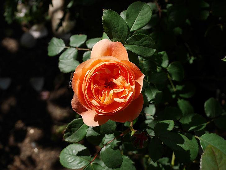 レディ・エマ・ハミルトン(木立バラ)の花が咲いた。2019年-9.jpg