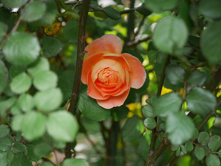 レディ・エマ・ハミルトン(木立バラ)の花が咲いた。2020年-1.jpg
