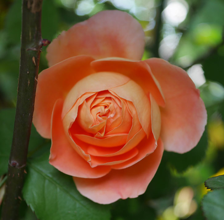 レディ・エマ・ハミルトン(木立バラ)の花が咲いた。2020年-2.jpg