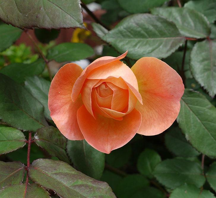 レディ・エマ・ハミルトン(木立バラ)の花が咲きだした。2017年-1.jpg