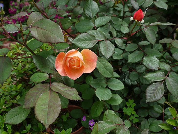 レディ・エマ・ハミルトン(木立バラ)の花が咲きだした。2017年-2.jpg