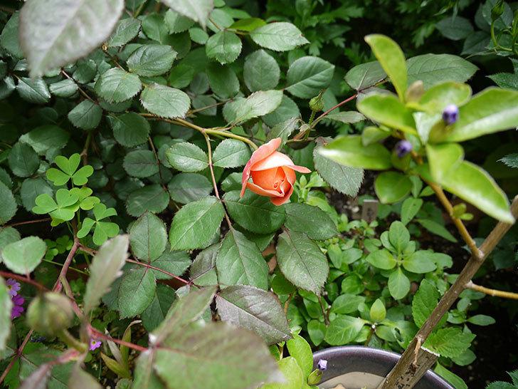 レディ・エマ・ハミルトン(木立バラ)の花が咲きだした。2017年-3.jpg