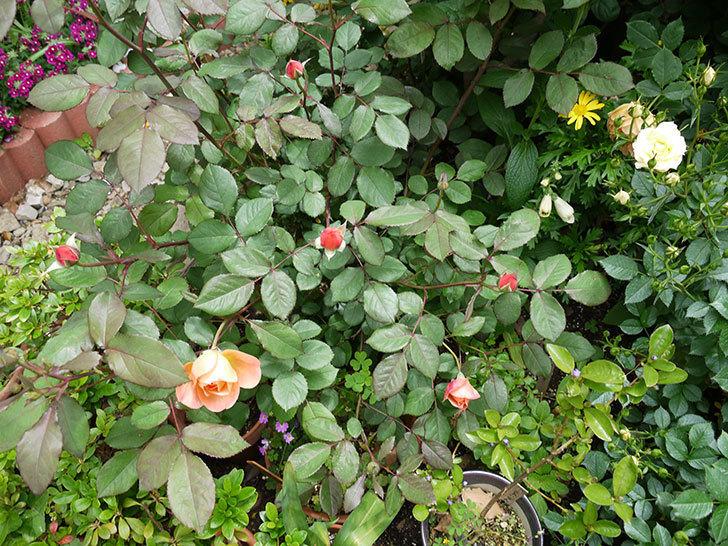 レディ・エマ・ハミルトン(木立バラ)の花が咲きだした。2017年-5.jpg