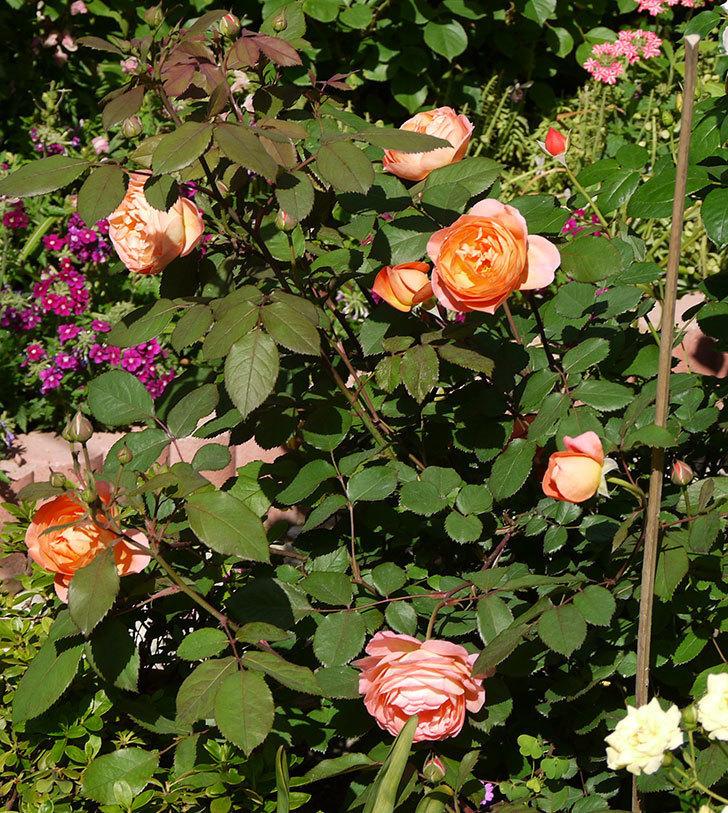 レディ・エマ・ハミルトン(木立バラ)の花が増えてきた。2017年-1.jpg
