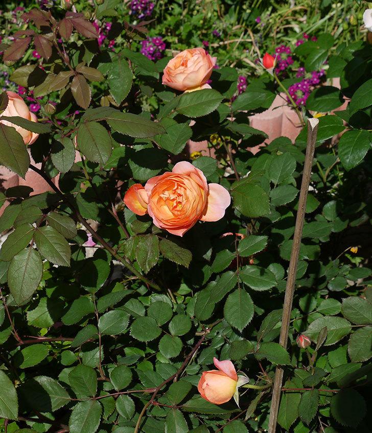 レディ・エマ・ハミルトン(木立バラ)の花が増えてきた。2017年-10.jpg