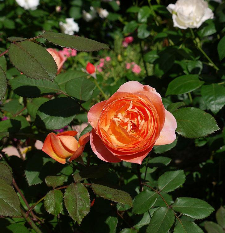レディ・エマ・ハミルトン(木立バラ)の花が増えてきた。2017年-11.jpg