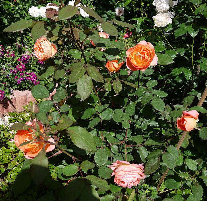 レディ・エマ・ハミルトン(木立バラ)の花が増えてきた。2017年-12.jpg