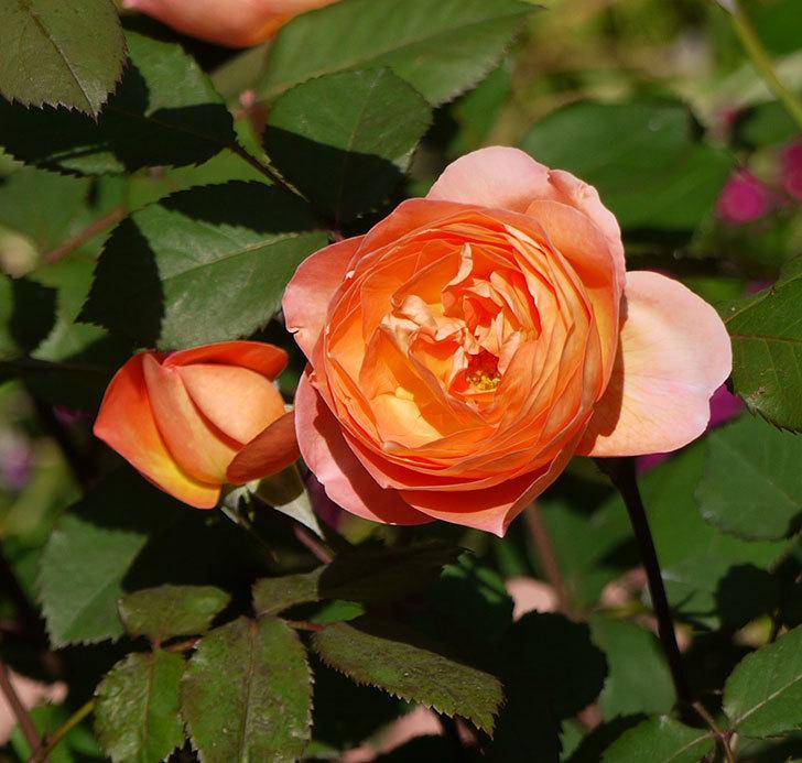 レディ・エマ・ハミルトン(木立バラ)の花が増えてきた。2017年-2.jpg