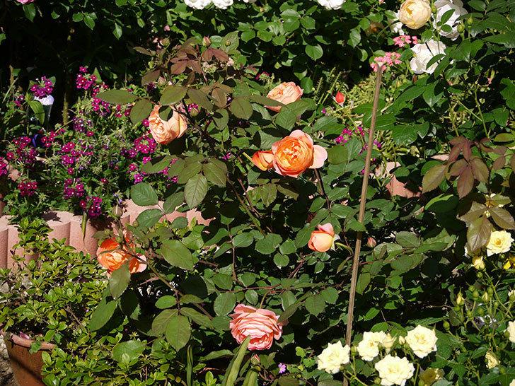 レディ・エマ・ハミルトン(木立バラ)の花が増えてきた。2017年-3.jpg