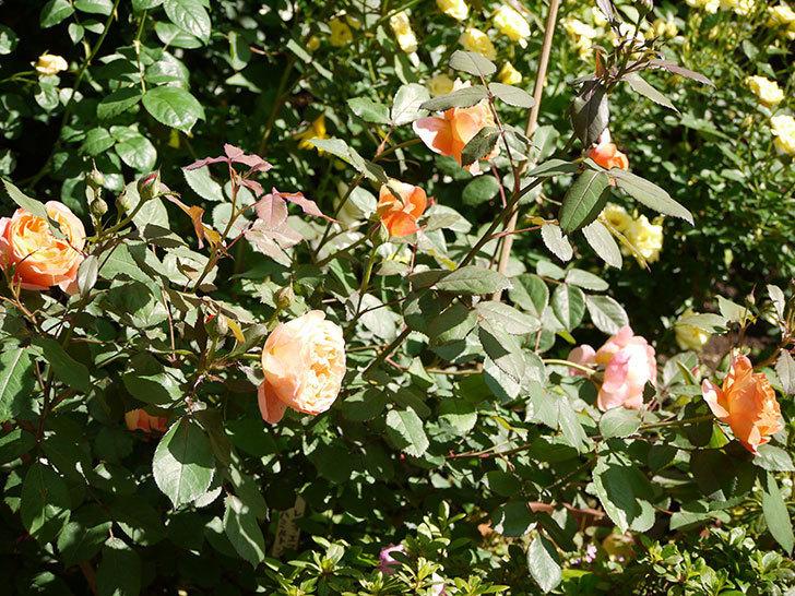 レディ・エマ・ハミルトン(木立バラ)の花が増えてきた。2017年-4.jpg
